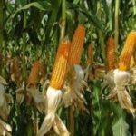 FG, Ban Maize Importation- Farmers