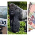 Gorilla swallows N6.8 million Kano Zoo gate takings