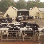 Ruga Settlement: Middle Belt Forum Blasts Ortom, Ishaku Over Rejection Of FG's Cattle Ranching Initiative