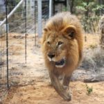 Escaped Kano Lion Yet To Be Returned To Cage — Zoo Boss