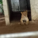 PHOTOS: Lion Discovered At Residential Building In Lagos