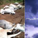Shock As Thunder Kills 17 Cows On A Farmland In Osun