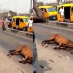 VIDEO: Horse Used In Place Of Okada In Some Areas In Lagos Collapses After Few Hours Of Work