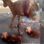 Goat Gives Birth To Strange Kid With A Human-Shaped Skull In Argungu, Kebbi State (PHOTOS)