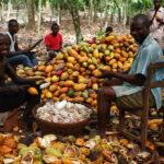 Nigeria's cocoa production falls as Ghana, Côte d'Ivoire enjoy boom