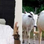 VIDEO: Leave Cryptocurrencies, Invest In Cows – Garba Tells Nigerians