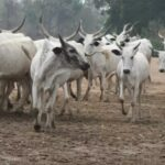 Edo Youths Give 14-Day Vacation Notice To Fulani Herdsmen To Vacate Their Communities