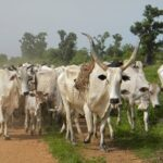 Benue: Govt Backed Vigilantes Killing Herdsmen – Miyetti Allah